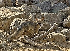 http://upload.wikimedia.org/wikipedia/commons/thumb/e/eb/Blandford%27s_fox_1.jpg/275px-Blandford%27s_fox_1.jpg