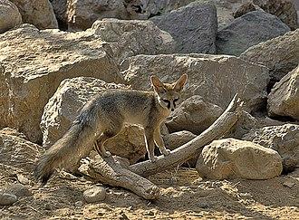 Vulpes - Image: Blandford's fox 1