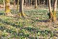 Bledule jarní v PR Králova zahrada 44.jpg