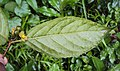 Blepharistemma serratum fruits 19.JPG