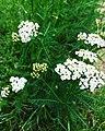 Bloemen duizendblad Achillea millefolium.jpg