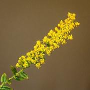 Bloemen van een Solidago rugosa. 07-10-2021. (d.j.b).jpg