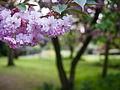 Blossom (9029214988).jpg
