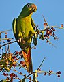 Blue-crowned Parakeet (Aratinga acuticaudata) (30943877054).jpg