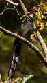 Blue-faced Malkoha by N.A. Naseer.jpg
