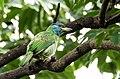 Blue-throated Barbet (कुथुर्के).jpg