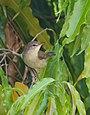 Blyth's Reed Warbler (Acrocephalus dumetorum) (43850436371).jpg