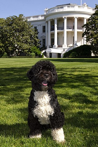 """The official portrait of the Obama family dog, """"Bo"""", a Portuguese water dog, on the South Lawn of the White House. Bo recently died of cancer."""