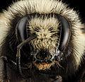 Bombus bifarius, F, Face, MT, Flathead Co 2014-04-03-11.26.03 ZS PMax (14061491933).jpg