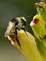 Bombus sylvarum - Pedicularis sceptrum-carolinum - Niitvälja bog.jpg