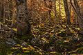 Bosque del Moncayo en otoño.jpg