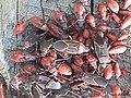 Box Elder Bug adults and nymphs.jpg