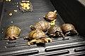 Box turtles (37090437404).jpg