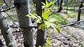 Boxelder Maple (41909406182).jpg