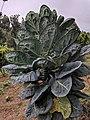 Brassica oleracea 25.jpg