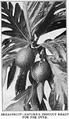 Breadfruit (Forty Years On the Pacific).png