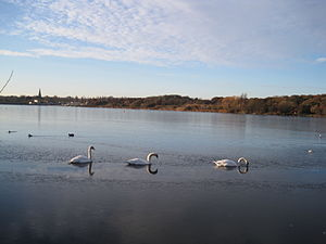 Swans on Brent Reservoir