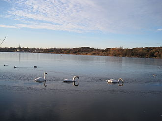 Brent Reservoir - View from Neasden Recreation Ground of swans on Brent Reservoir