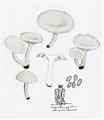 Bresadola - Clitocybe dealbata.png