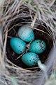 Brewer's sparrow nest and eggs (53423354-6235-4cd4-b92d-75214b214bf4).jpg