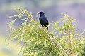 Brewer's Blackbird (Euphagus cyanocephalus) with food near Gardner River (42286547914).jpg