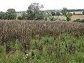 Broad beans near Long Compton - geograph.org.uk - 213715.jpg
