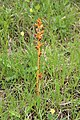 Broomrape - panoramio (3).jpg