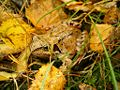 Brosen frog.jpg