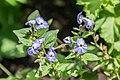 Browallia americana 'Sky Blue' in Jardin des 5 sens.jpg