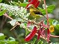 Brown-throated Sunbird (13893533937).jpg