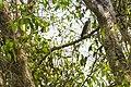Brown Hawk Owl.jpg