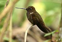 Brown Inca (Coeligena wilsoni)