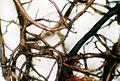 Bryoria bicolor-2.jpg
