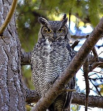 Great horned owl - Coastal great horned owl, B. v. saturatus Reifel Migratory Bird Sanctuary, Delta, British Columbia, Canada
