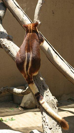 Tree-kangaroo - Image: Buergers' Tree kangaroo back and tail