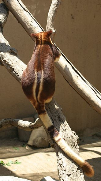Tree-kangaroo - Image: Buergers' Tree kangaroo back and tail