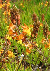 B. frutescens, balsambulbine