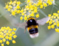 Bumblebee blurred wings example.jpg