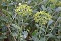 Bupleurum fruticosum in Jardin botanique de la Charme 03.jpg
