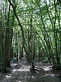 Bushycommon Wood - geograph.org.uk - 1456462.jpg