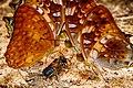 Butterfly in Kaeng Krachan National Park (4).jpg