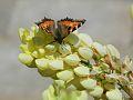Butterfly in the Netherlands.jpg
