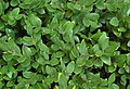 Buxus 'Green Velvet' Leaves 2500px.jpg