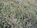 Buxus koreana.JPG