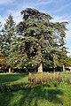 Cèdre dans le parc de la Mairie.jpg