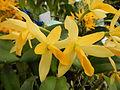 C.Aurantiaca Goldenjf9250 06.JPG