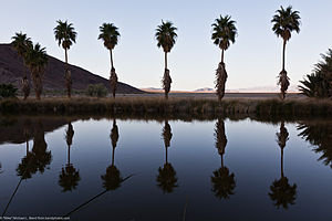 Lake Tuendae - California Fan Palms reflected in Lake Tuendae. Photo courtesy Mike Baird.