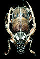 CSIRO ScienceImage 2328 A Borer.jpg