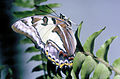 CSIRO ScienceImage 2807 Tailed Emperor Butterfly.jpg