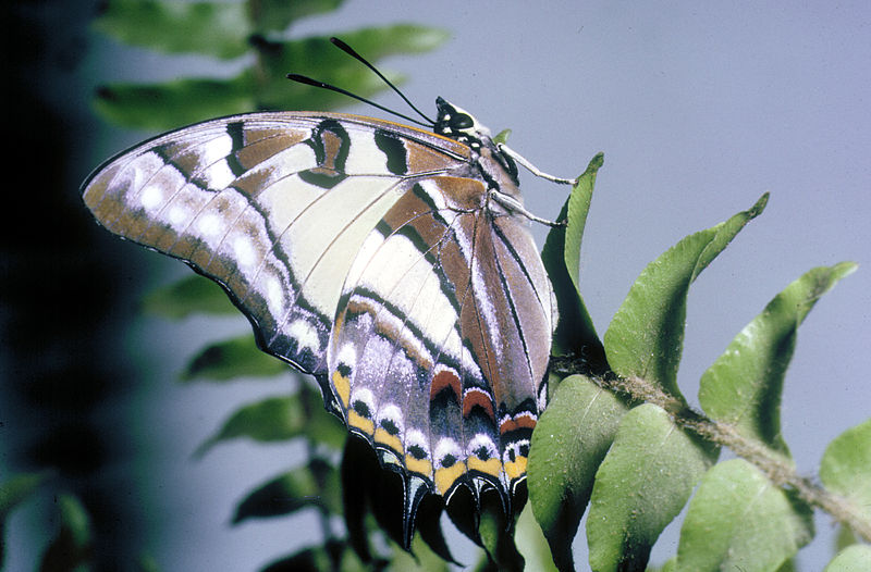 File:CSIRO ScienceImage 2807 Tailed Emperor Butterfly.jpg